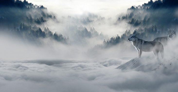 Sne og ulve