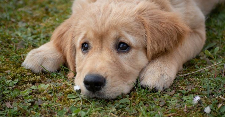 Golden retriever hvalp på græs