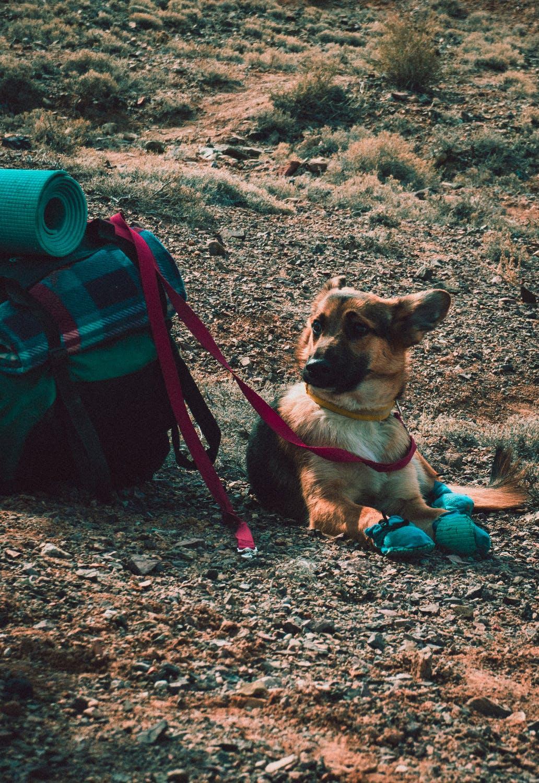 Camping med kæledyr